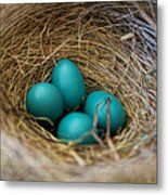 Four Robin Eggs In Nest Metal Print