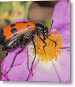 Four-spotted Blister Beetle - Mylabris Quadripunctata Metal Print