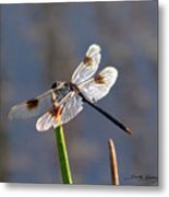 Four Spotted Pennant On A Reed Metal Print