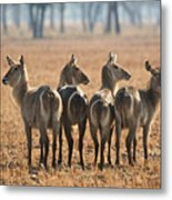 Four Waterbucks Metal Print