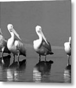 Four White Pelicans In A Funny Pose Metal Print
