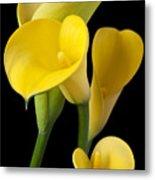 Four Yellow Calla Lilies Metal Print