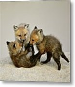 Fox Cubs At Play Metal Print