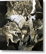Fox Delivering Food To Its Cubs  Metal Print