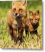 Fox Family Metal Print