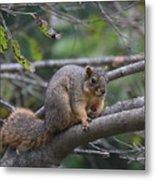 Fox Squirrel On A Branch  Metal Print