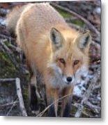 Fox Stare Metal Print