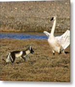 Fox Vs Swan Metal Print