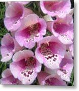 Foxglove Plant - Pink Bell Flowers. Macro Metal Print
