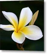 Fragrant Hawaiian Plumeria Maui Metal Print