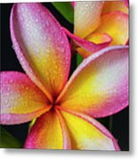 Frangipani After The Rain Metal Print