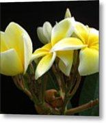 Frangipani Blossoms Metal Print