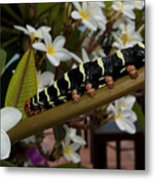 Frangipani Tree And Caterpillar Metal Print