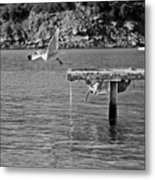 Freedom Is A Seagull Name Black And White Metal Print