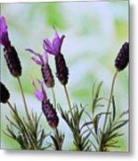 French Lavender Metal Print