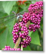 French Mulberry Metal Print