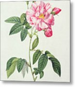 French Rose Metal Print by Pierre Joseph Redoute