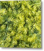 Fresh Dill Weed  Metal Print