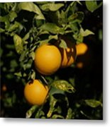 Fresh Oranges Metal Print