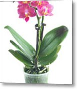 Fresh Pink Orchid In Pot Metal Print