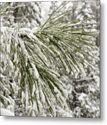 Fresh Snow Covers Needles On A Pine Metal Print