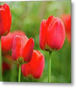 Fresh Spring Tulips Flowers With Water Drops In The Garden  Metal Print