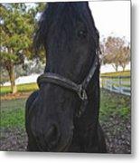 Friesian Horse Head Metal Print