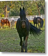 Friesian Horses - Pasture Metal Print