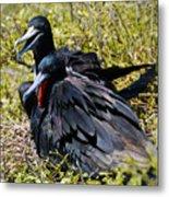 Frigatebirds In Love Metal Print
