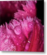Fringed Tulip Metal Print