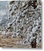 Frost-covered Pine Metal Print