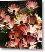 Frosted African Daisies Metal Print