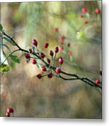 Frosted Red Berries And Green Leaves  Metal Print