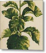 Frosted Thorn, Crataegus Prunifolia Variegata Metal Print