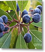 Fruit And Leaves Of The Red Bay Metal Print