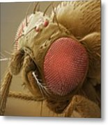 Fruit Fly Head, Sem Metal Print by Power And Syred