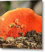 Fungi Pycnoporus Coccineus Metal Print