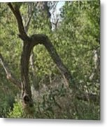 Funky Tree On Trail In Peters Canyon Metal Print