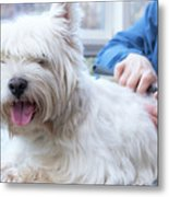 Funny View Of The Trimming Of West Highland White Terrier Dog Metal Print