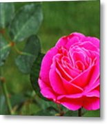 Fuschia Rose Metal Print