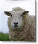 Fuzzy White Sheep In A Remote Location Metal Print