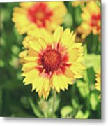 Gaillardia Flowers Metal Print