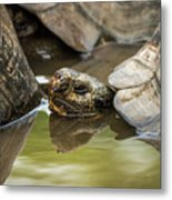 Galapagos Giant Tortoise In Pond Behind Another Metal Print