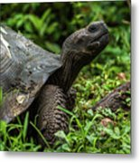 Galapagos Giant Tortoise In Profile In Woods Metal Print