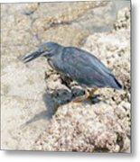 Galapagos Heron In Santa Cruz Island, Galapagos. Metal Print