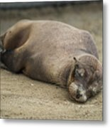 Galapagos Sea Lion Sleeps On Sandy Beach Metal Print