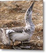 Gannet Chick 1 Metal Print