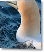 Gannet Swim 3 Metal Print