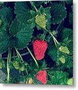 Ripening Garden Strawberries  Metal Print