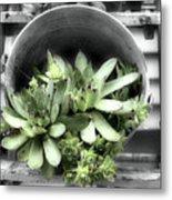 Garden Succulents Partial Color Metal Print